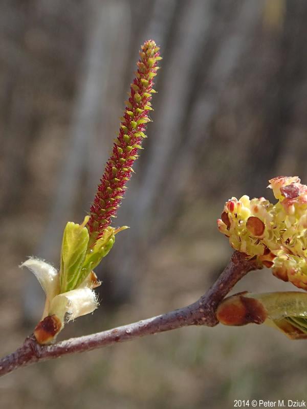 betula papyrifera  paper birch   minnesota wildflowers