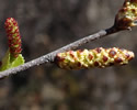 [photo of catkins]