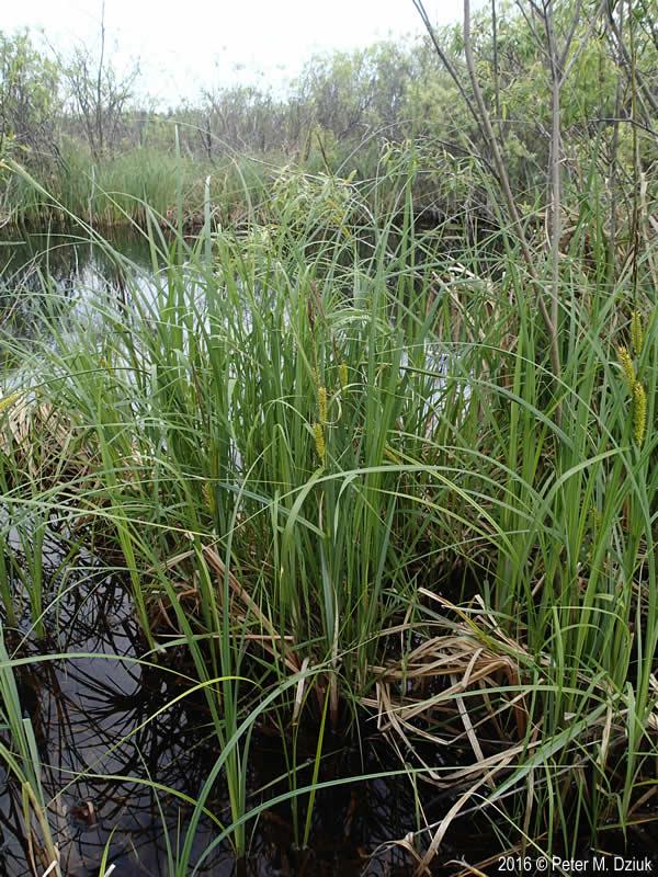 Carex Lacustris Lake Sedge Minnesota Wildflowers