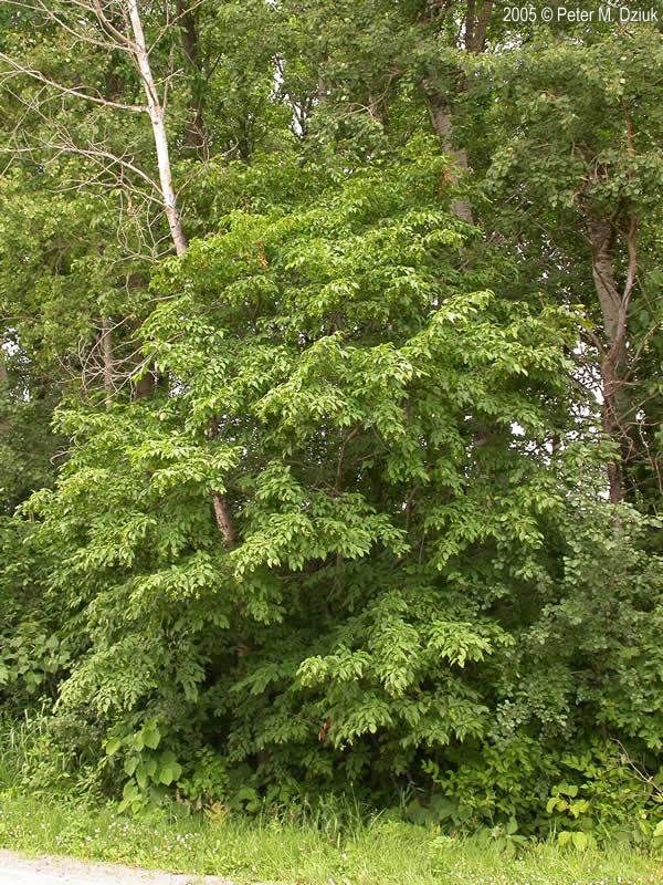Carpinus Caroliniana Blue Beech Minnesota Wildflowers