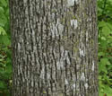[photo of mature trunk]