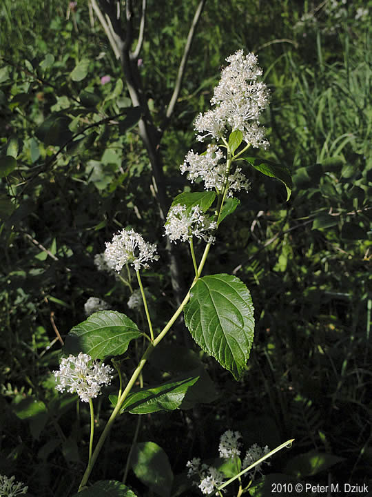 Ceanothus Americanus New Jersey Tea Minnesota Wildflowers