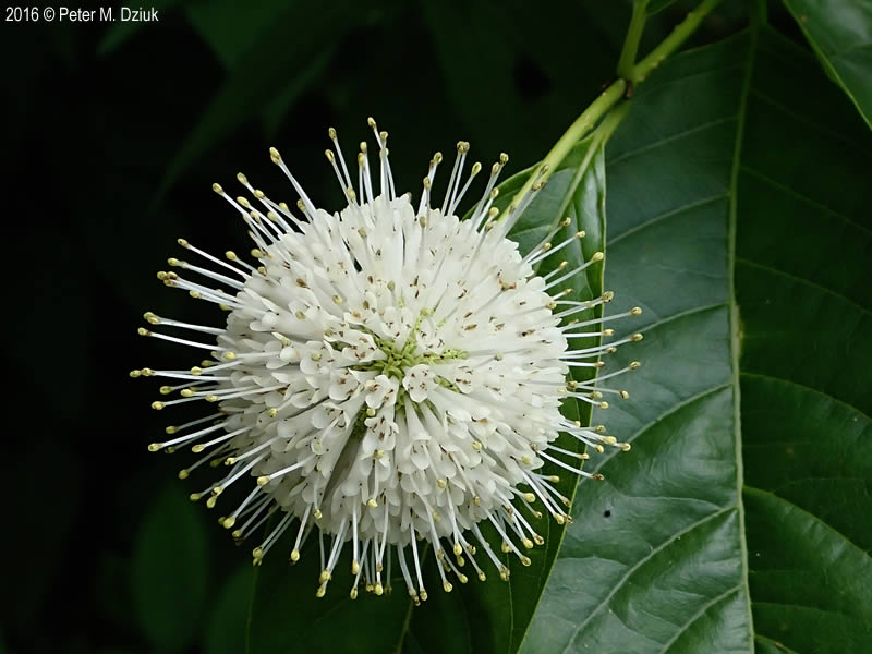 Cephalanthus Occidentalis Buttonbush Minnesota Wildflowers