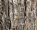 [photo of older bark]