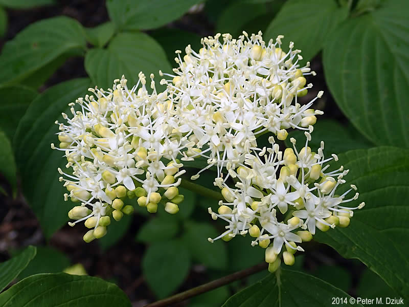 Cornus alternifolia pagoda dogwood minnesota wildflowers photo of flowers mightylinksfo