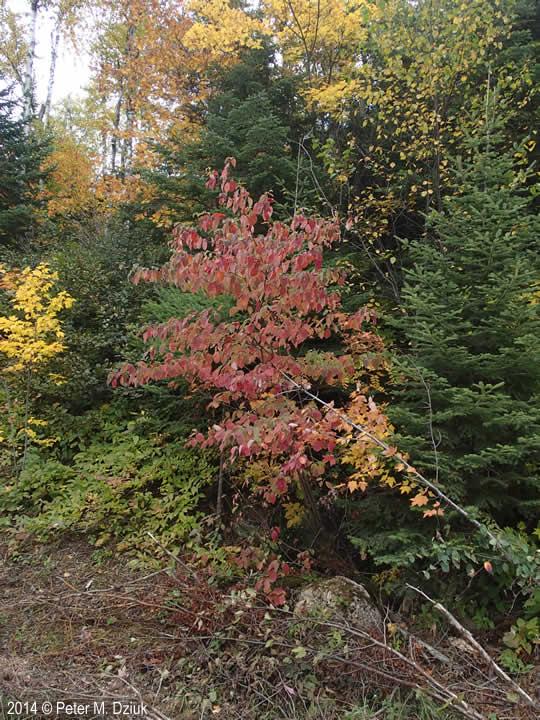Cornus alternifolia (Pagoda Dogwood): Minnesota Wildflowers