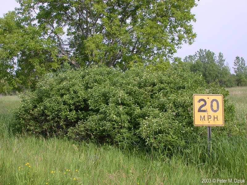 Cornus Amomum Silky Dogwood Minnesota Wildflowers