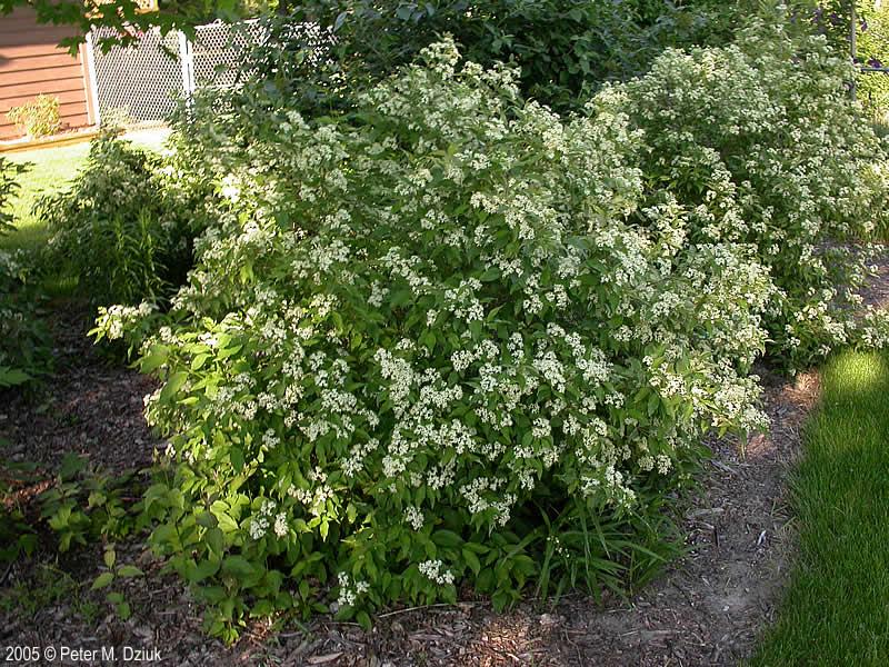 Cornus Racemosa Gray Dogwood Minnesota Wildflowers