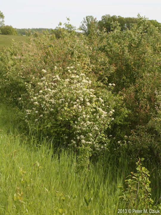 Cornus Sericea Red Osier Dogwood Minnesota Wildflowers