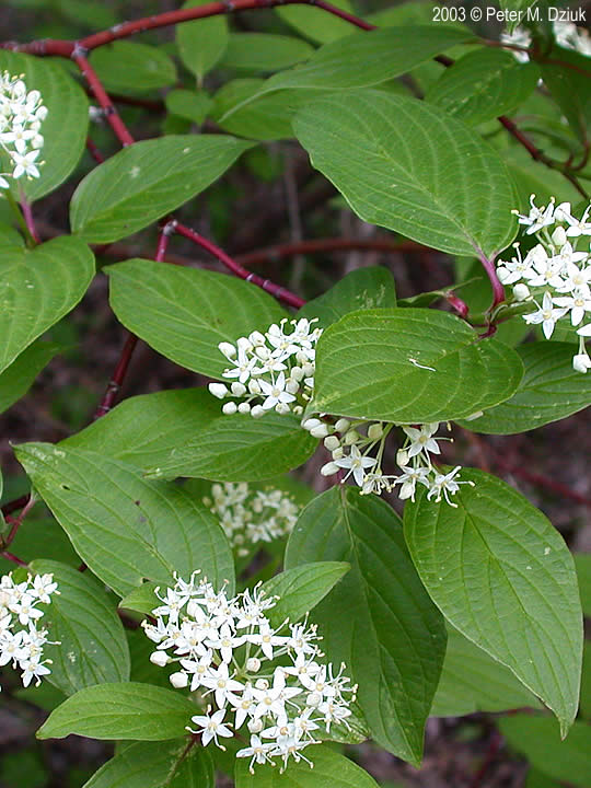 Shade Of Green >> Cornus sericea (Red-osier Dogwood): Minnesota Wildflowers