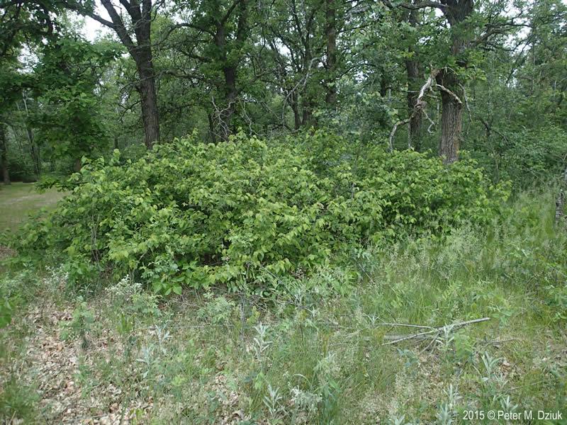Corylus Americana American Hazelnut Minnesota Wildflowers