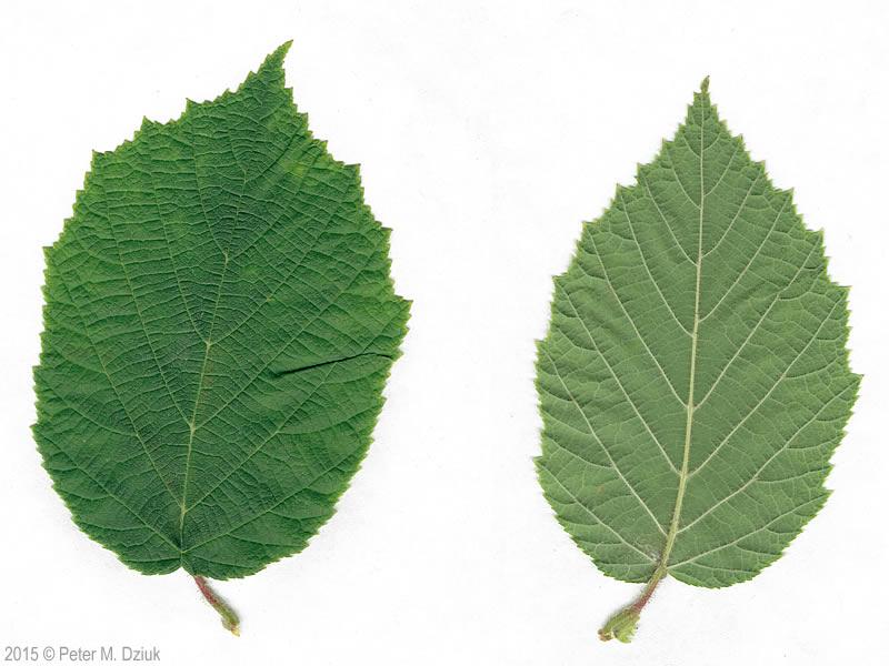 Corylus americana (American Hazelnut): Minnesota Wildflowers