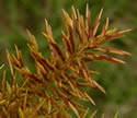 [photo of spikelet clusters]