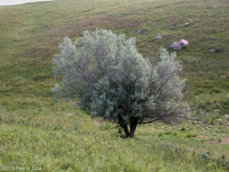 Russian Olive Elaeagnus Angustifolia Russian 15
