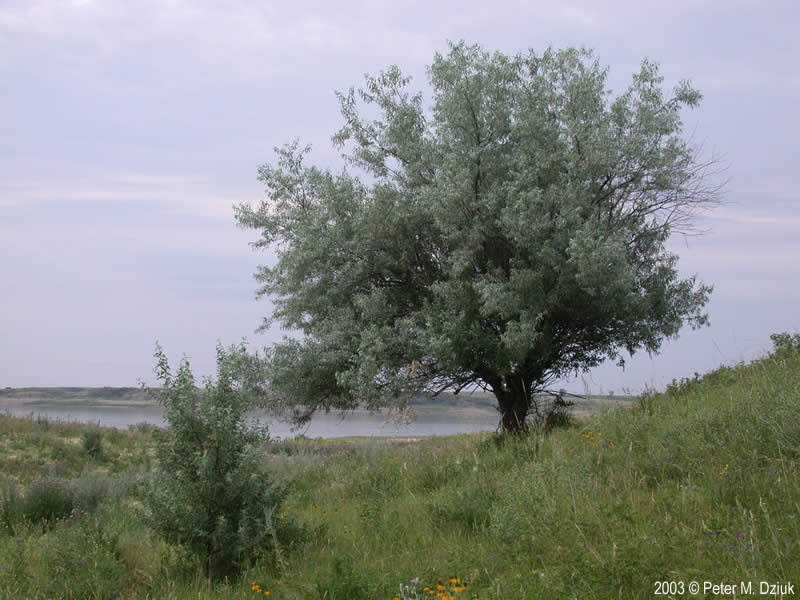 Russian Olive Elaeagnus Angustifolia Russian 38