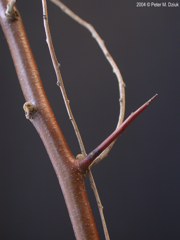 Elaeagnus Angustifolia Russian Olive Minnesota Wildflowers