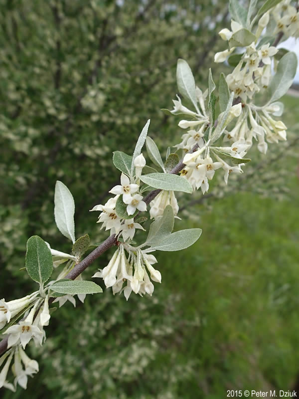 Elaeagnus Umbellata Autumn Olive Minnesota Wildflowers