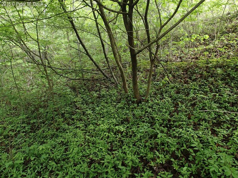 Euonymus Alatus Winged Burning Bush Minnesota Wildflowers
