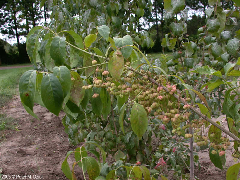 Euonymus Atropurpureus Eastern Wahoo Minnesota Wildflowers