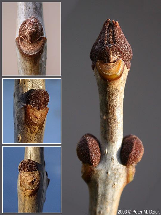 Fraxinus pennsylvanica (Green Ash): Minnesota Wildflowers