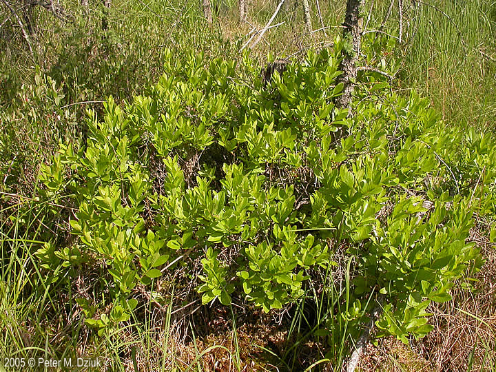 Gaylussacia Baccata Black Huckleberry Minnesota Wildflowers