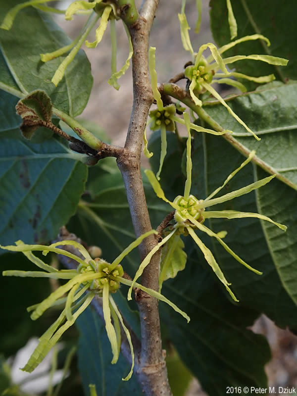 hamamelis virginiana witch hazel minnesota wildflowers. Black Bedroom Furniture Sets. Home Design Ideas