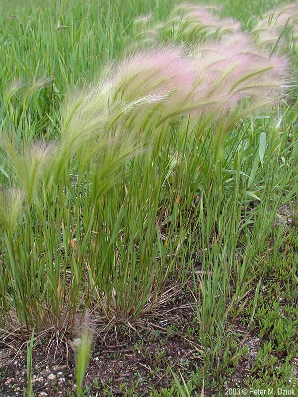 Hordeum Jubatum  Foxtail Barley   Minnesota Wildflowers