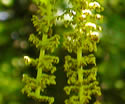 [photo of male catkins]