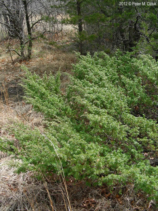 Juniperus Communis Common Juniper Minnesota Wildflowers