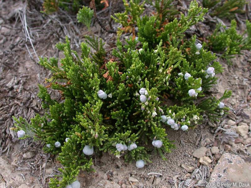 juniperus horizontalis creeping juniper minnesota