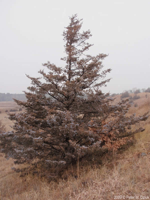 Eastern Cedar Tree ~ Juniperus virginiana eastern red cedar minnesota