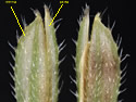 [photo of individual spikelets]