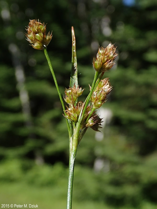 Pick A Part >> Luzula multiflora (Common Woodrush): Minnesota Wildflowers