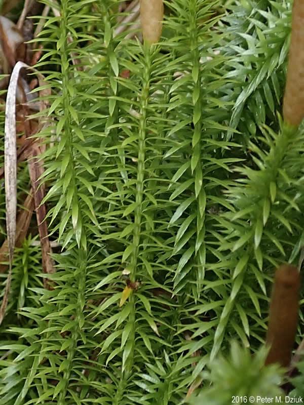 Spinulum annotinum spores Stiff clubmoss
