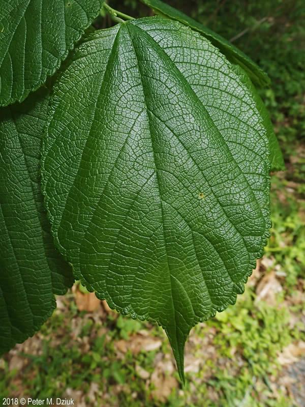 Morus rubra (Red Mulberry): Minnesota Wildflowers