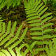 [photo of Interrupted Fern]