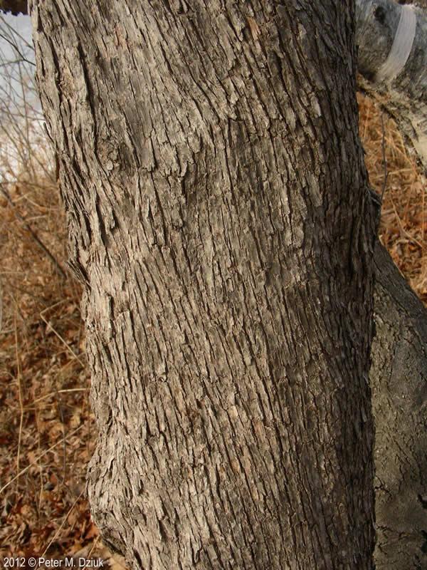 Ostrya virginiana (Ironwood): Minnesota Wildflowers