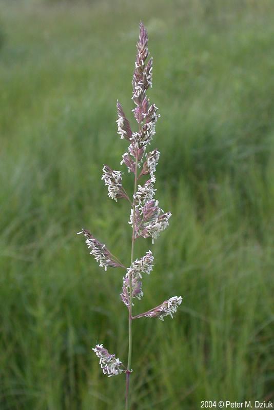 Phalaris arundinacea reed canary grass minnesota wildflowers workwithnaturefo