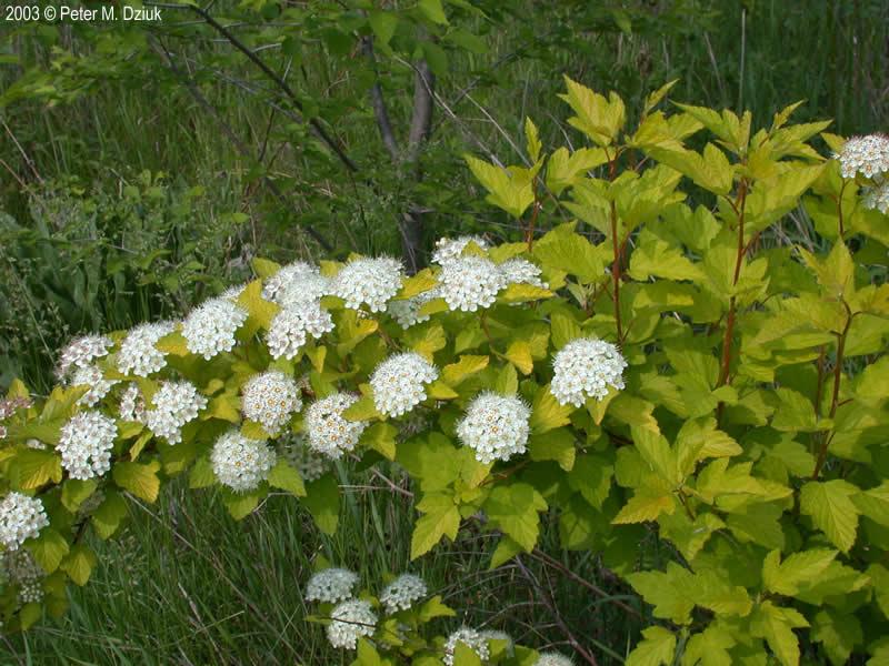 Physocarpus Opulifolius Ninebark Minnesota Wildflowers