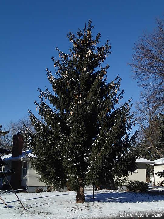 Picea abies (Norway Spruce): Minnesota Wildflowers