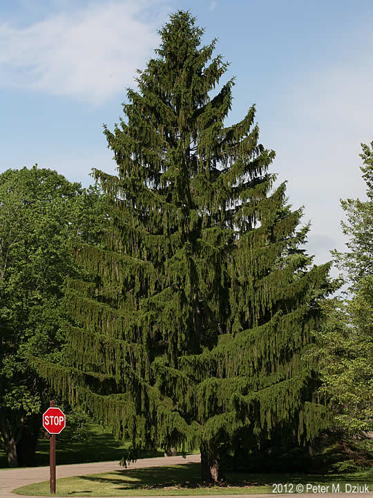 Norway spruce tree mature norway spruce tree pendulous branchlets