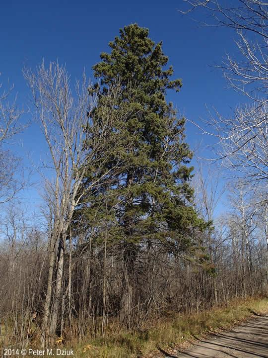 Picea glauca (White Spruce): Minnesota Wildflowers