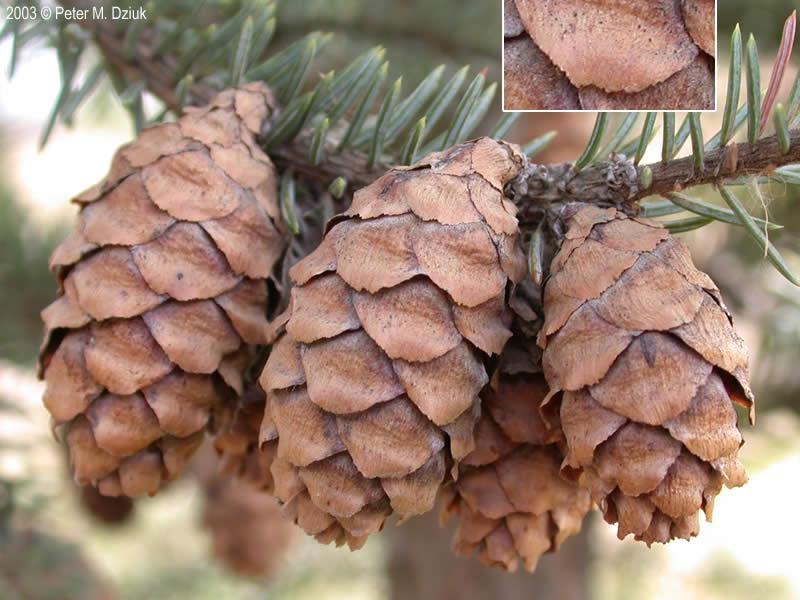 Picea mariana (Black Spruce): Minnesota Wildflowers