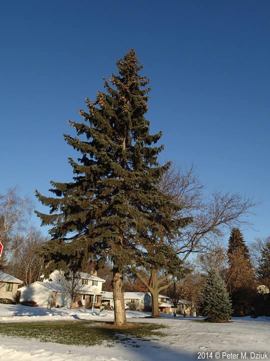 Picea Pungens Colorado Spruce Minnesota Wildflowers