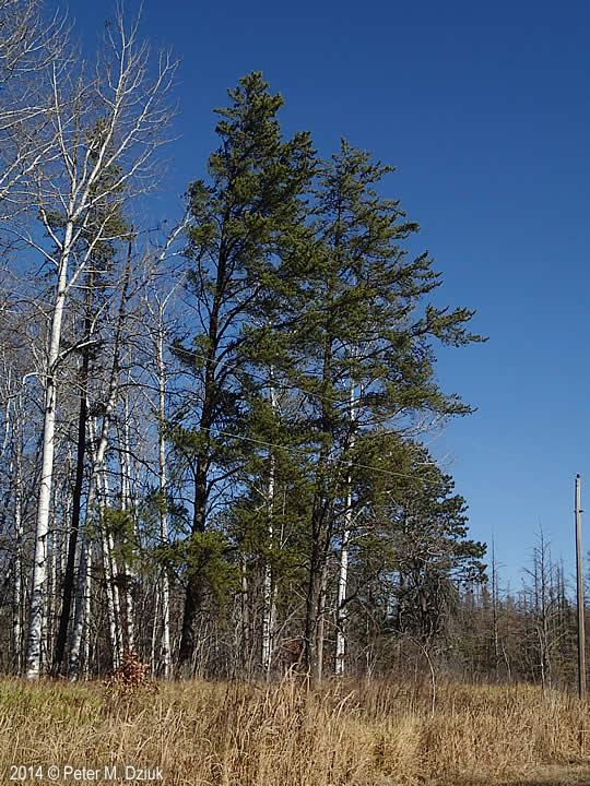 Pinus Banksiana Jack Pine Minnesota Wildflowers
