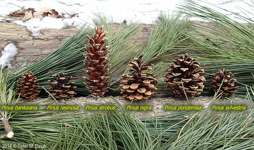 Pinus nigra austrian pine minnesota wildflowers for Long pine cones