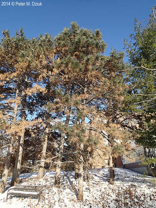 pinus ponderosa  ponderosa pine   minnesota wildflowers