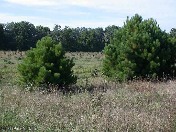 Pinus Resinosa Red Pine Minnesota Wildflowers