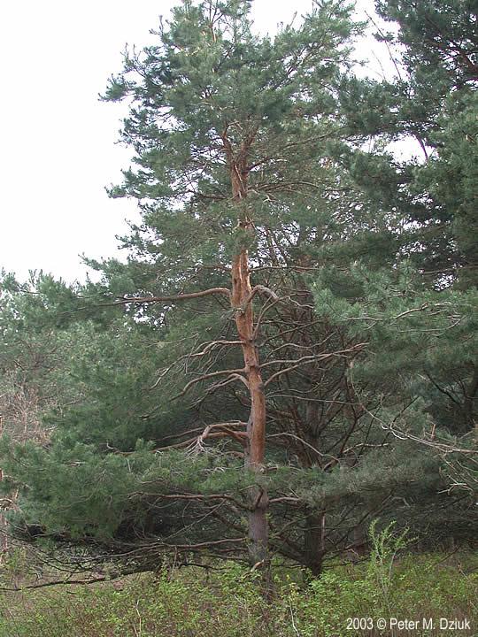 pinus sylvestris scots pine minnesota wildflowers
