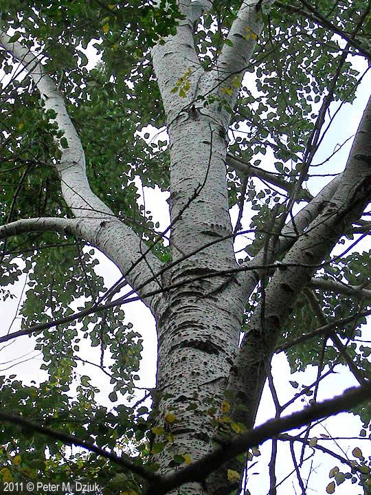 White Poplar Tree Leaf Populus alba (W...